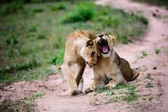 Львицы приветствуя один другого с головной протиркой Стоковые Фотографии RF