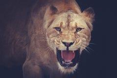 львицы Стоковое Изображение RF