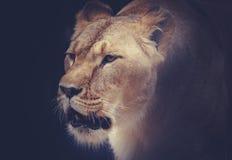 львицы Стоковое Изображение