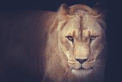 львицы Стоковая Фотография