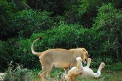 Львы Африки одичалые на игре в Южной Африке стоковое изображение
