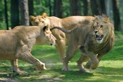 львы бой стоковое изображение rf