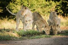 Львы выпивая от пруда Стоковое Изображение RF