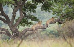 Львы в дереве Южной Африке стоковые фотографии rf