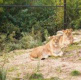Львы в зверинце Стоковые Фото