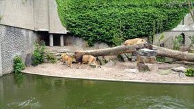 Львы в зверинце стоковые изображения