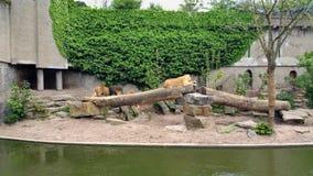 Львы в зверинце стоковая фотография rf