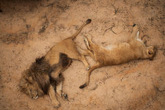 Львы в зоопарке Лиссабона Стоковые Фото