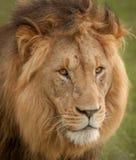 Львы в одичалом в Kwazulu Natal Стоковое Фото