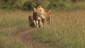 Львы в равнинах mara сток-видео