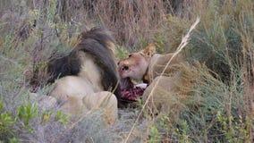 Львы есть от антилопы гну Стоковая Фотография