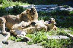 Львы играя в траве стоковая фотография rf