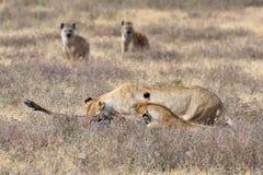 Львы и гиены в районе NgoroNgoro стоковые изображения