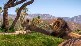 Львы кладя в Солнце Стоковая Фотография