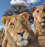 львы молодые Стоковая Фотография
