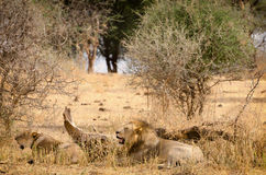 Львы, национальный парк Tarangire Стоковое Изображение RF