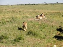 Львы на охоте Стоковое Изображение RF