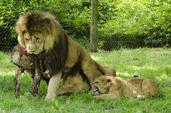 Львы на парке сафари Knowsley, Ливерпуле Стоковое Фото