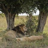 львы отдыхая вал вниз Стоковое Фото
