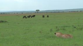 Львы охотясь в равнинах сток-видео