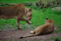 Львы о мой бог Стоковые Фотографии RF