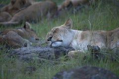 Львы принимая ворсину после полудня стоковое изображение