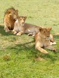 Львы саванны Mara Masai стоковые изображения rf