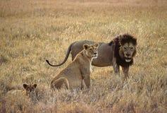 львы семьи Стоковая Фотография RF