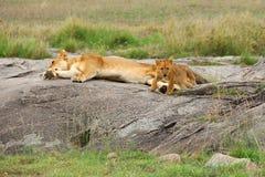 львы семьи Стоковое Фото