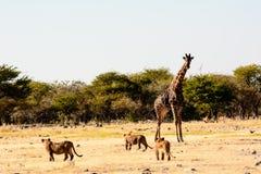 Львы смотря с презрением или оно страх на жирафе Стоковое фото RF