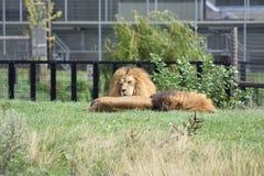 Львы спать мужские Стоковые Изображения