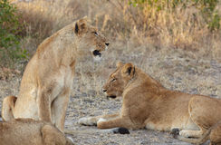Львы Стоковые Изображения RF