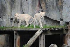 львы 2 стоковые фото
