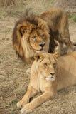 львы Стоковые Изображения