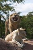львы 2 стоковая фотография rf
