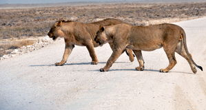 Львы Стоковые Фото