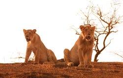 львы Стоковое Изображение