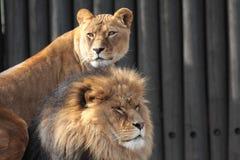 львы Стоковые Фотографии RF