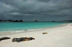 львы galapagos пляжа отдыхая море Стоковое Фото