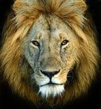 Львы Mara Masai стоковые изображения rf