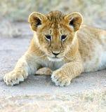 Львы Mara Masai стоковые фото