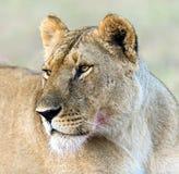 Львы Mara Masai стоковое изображение