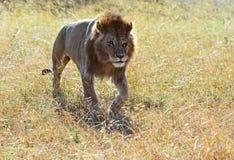 Львы Mara Masai стоковое изображение rf