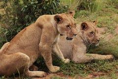 Львы, Serengeti, Африка Стоковые Фото