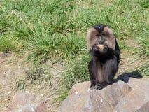 Льв-замкнутая макака есть плодоовощи - портрет стоковое фото rf