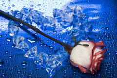 льдед сердца поднял Стоковая Фотография RF