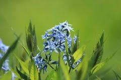 льдед сини amsonia стоковое изображение