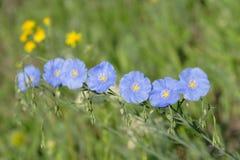 льнен цветет группа стоковое фото rf