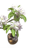 Льнуть к жизни - старому яблоку окруженному новым цветением Стоковая Фотография RF