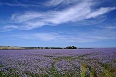льняное семя поля Стоковое фото RF